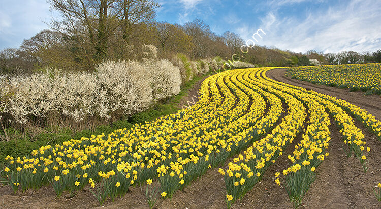 Daffodils at St Johns nr Torpoint.