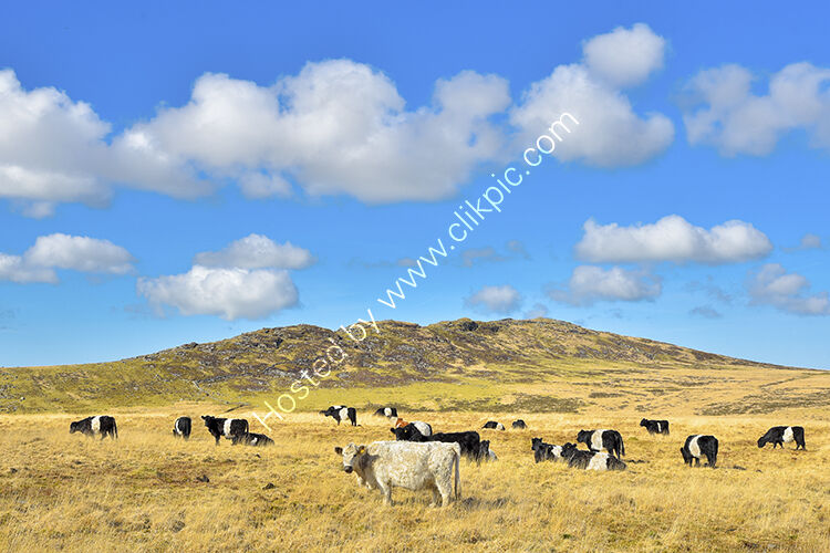 Brown Willy on Bodmin Moor, with a herd of mainly Belted Galloway cattle grazing.