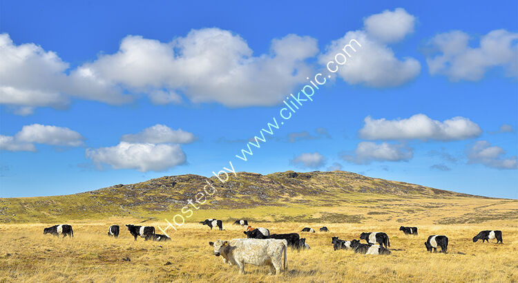 Brown Willy on Bodmin Moor, with a herd of mainly Belted Galloway cattle grazing  beneath it.