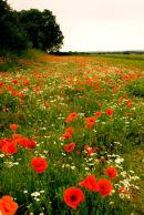Poppy field Norfolk