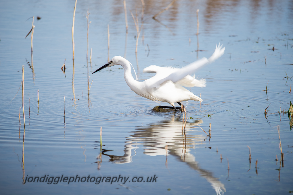 Little Egret ready to pounce.