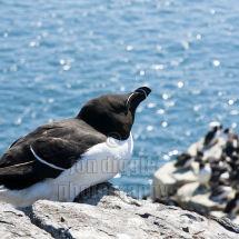 Razorbill Farne Islands Northumberland
