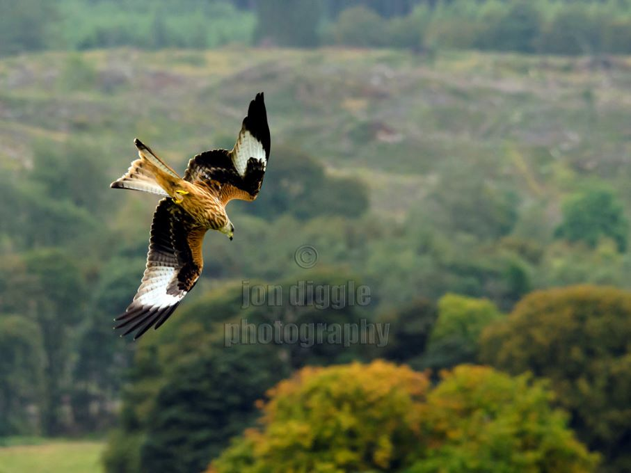 Red Kite Ballymack Hill Farm