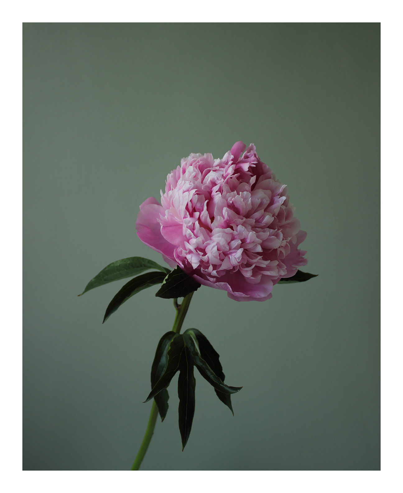 Going Over: Pink Peony