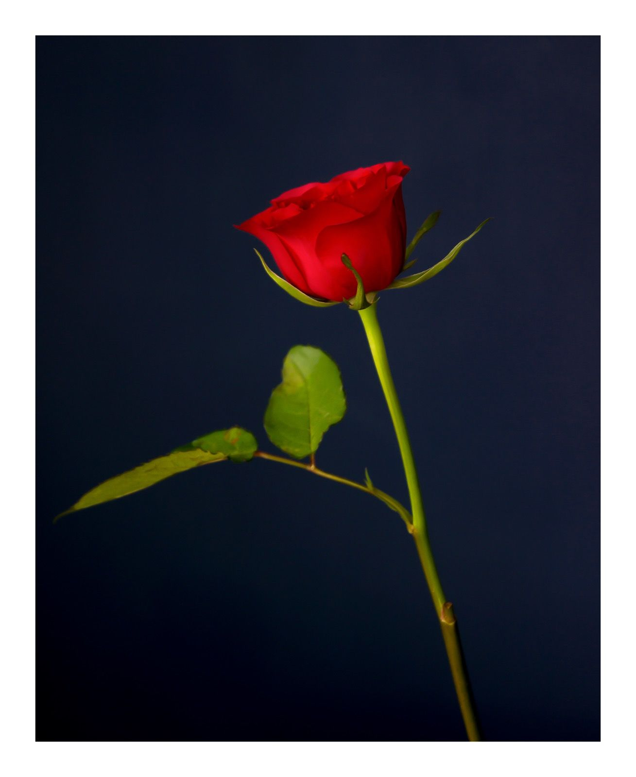 Going Over: Red Rose