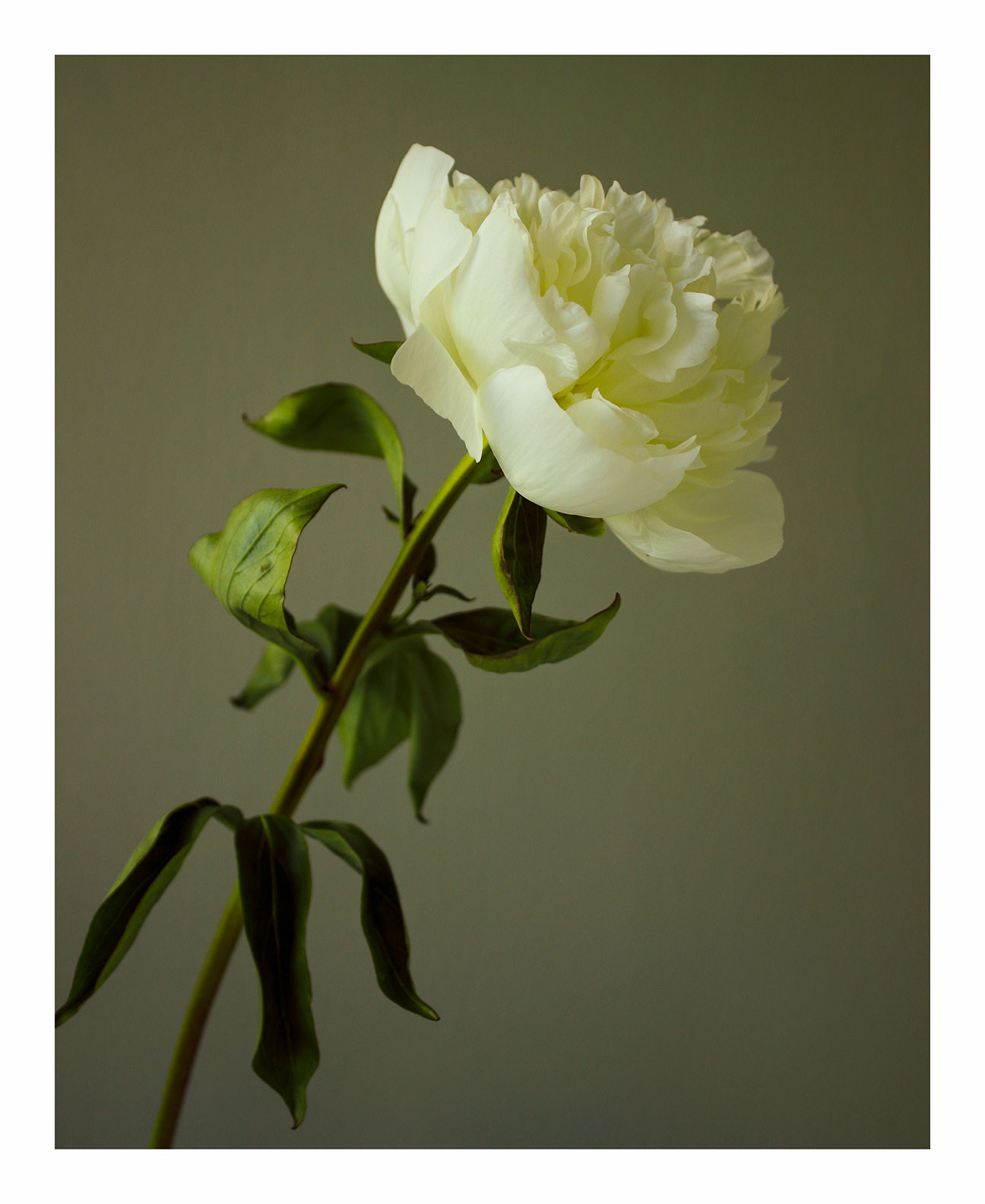 Going Over: White Peony