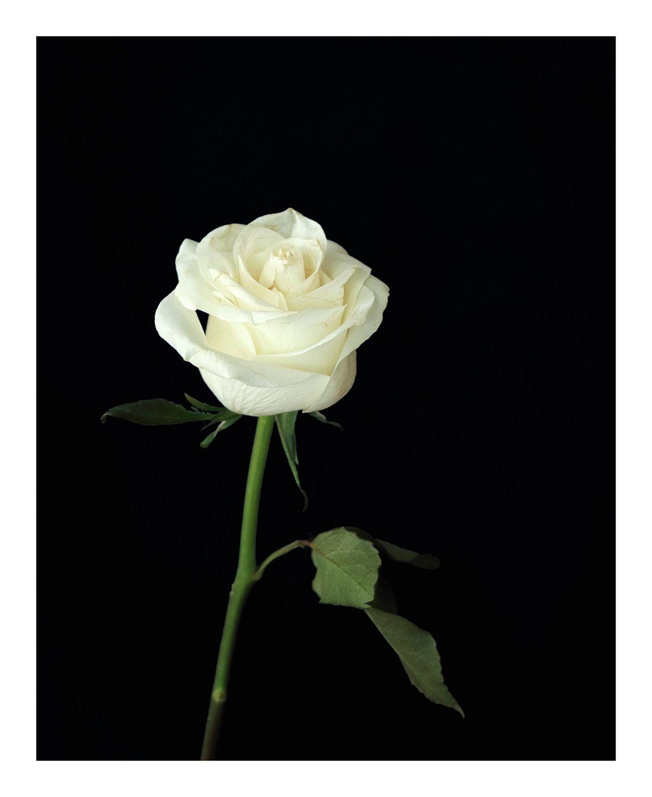 Going Over: White Rose
