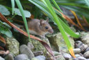 Wood Mouse 001