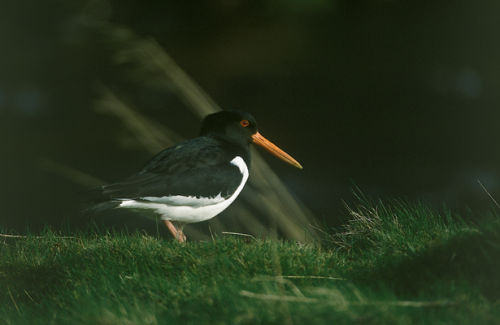 Oyster Catcher 002