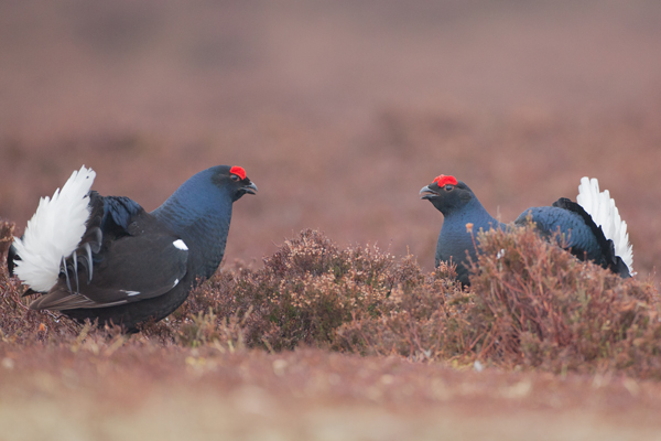 10 Black Grouse