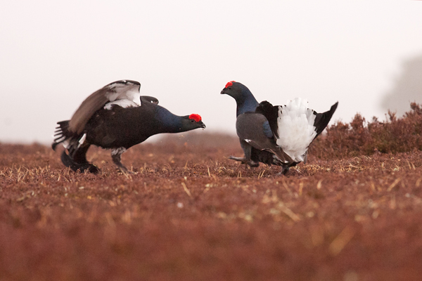 16 Black Grouse