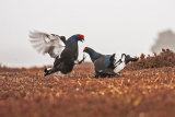 17 Black Grouse