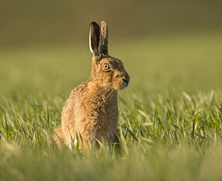 BROWN HARE MARCH 2021