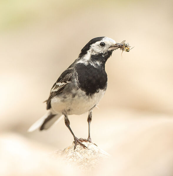 PIED WAGTAIL JUNE 2021