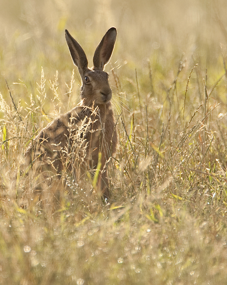 BROWN HARE 3