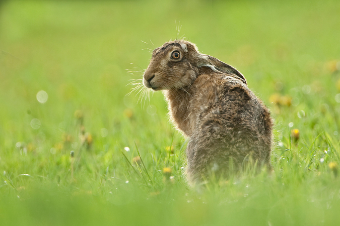 BROWN HARE BACKLIT