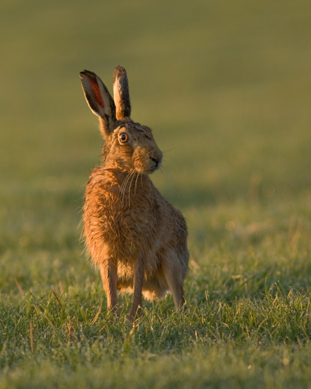 Brown hare at dawn