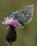 Common Blue Butterfly 001