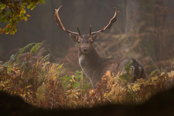 Fallow Buck During The Rut