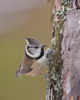 CRESTED TIT 3