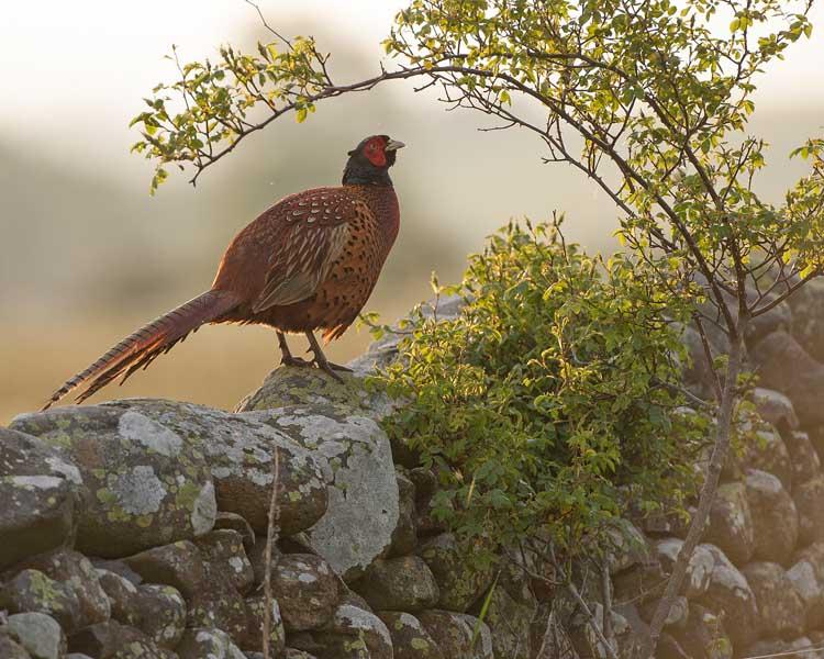 Cock Pheasant in morning light