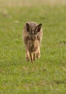 BROWN HARE 017