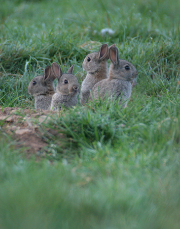 Young Rabbits 008