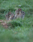 Young Rabbits 008