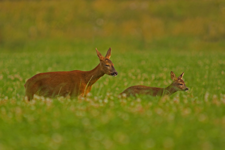 Roe Deer with fawn