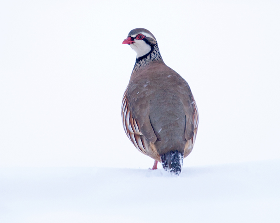 Red Legged Partridge January 2013
