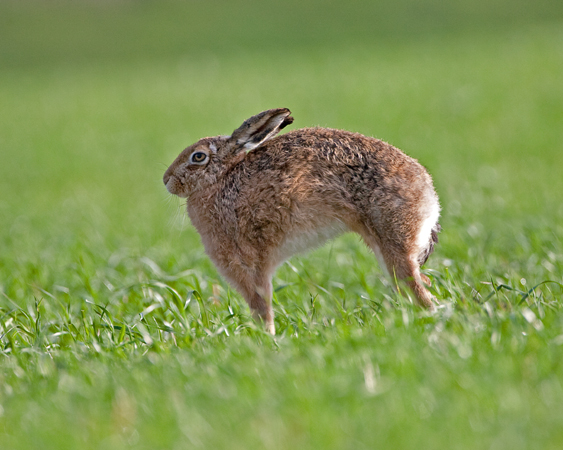 Brown Hare Stretch