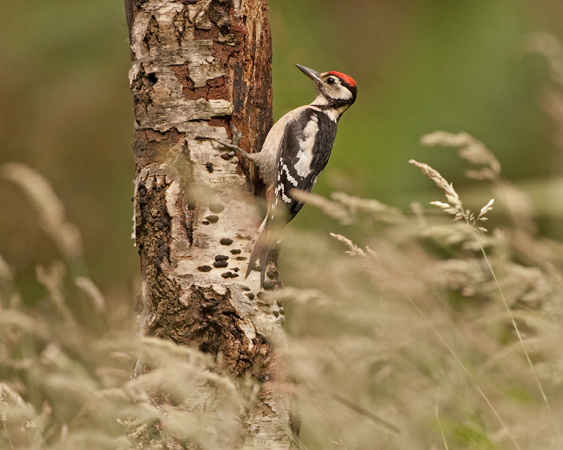 Young Greater Spotted Woodpecker