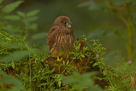 Young Kestrel 010