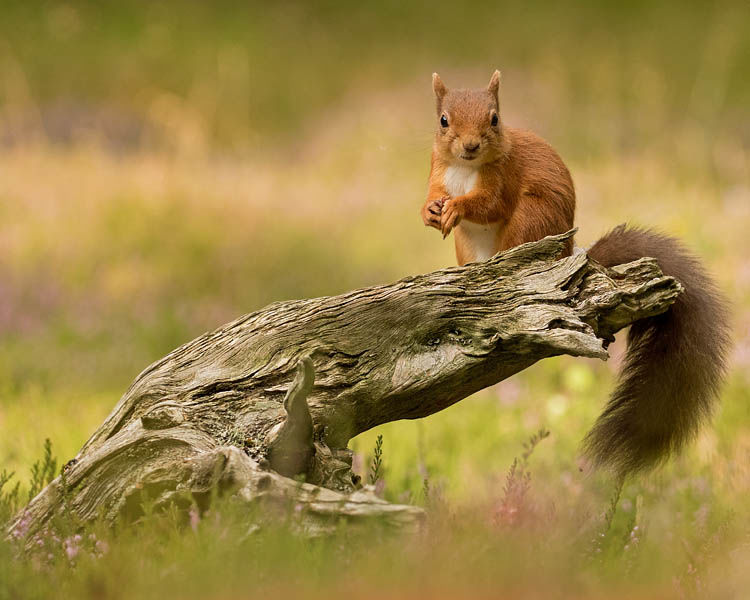 RED SQUIRREL AUGUST 2019