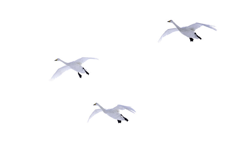 WHOOPER SWANS JANUARY 2021