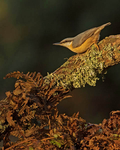 NUTHATCH JANUARY 2018
