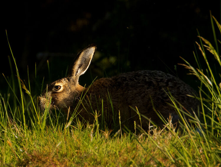 BROWN HARE MAY 2020