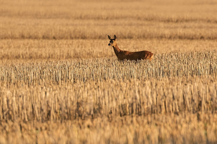 ROE DEER OCTOBER 2018