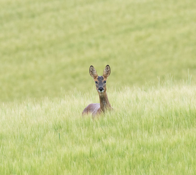 ROE DEER JULY 2020