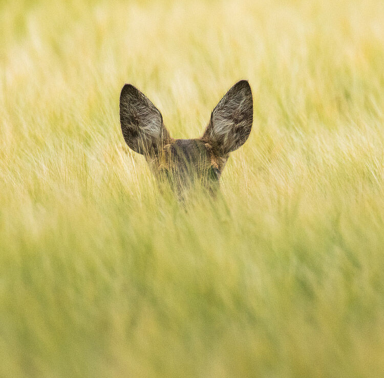 ROE DEER FAWN JULY 2020