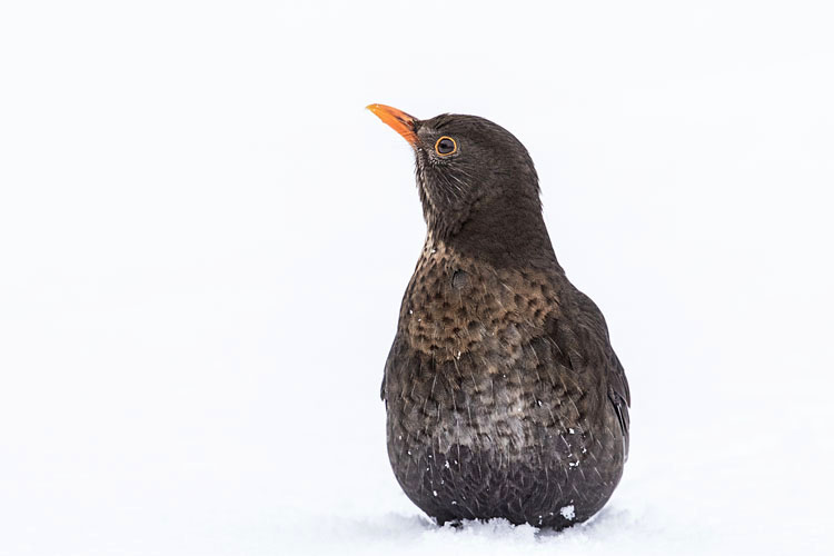 BLACKBIRD MARCH 2018