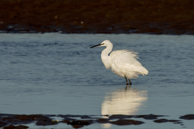 LITTLE EGRET NOVEMBER 2018