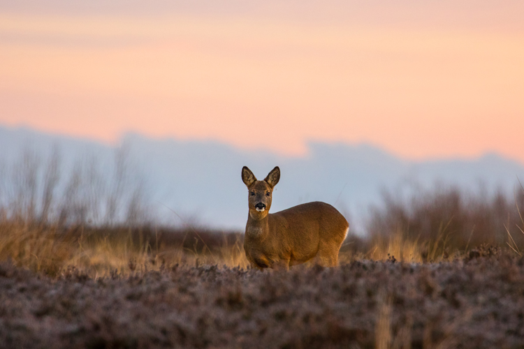ROE DEER JANUARY 2019