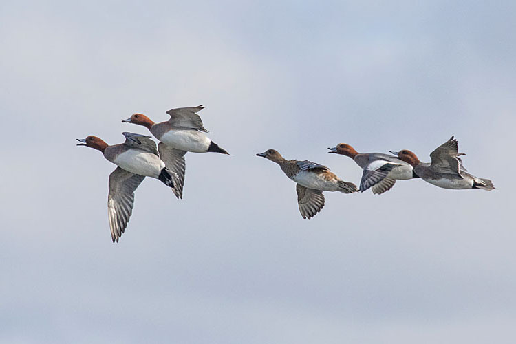 WIGEON MARCH 2018