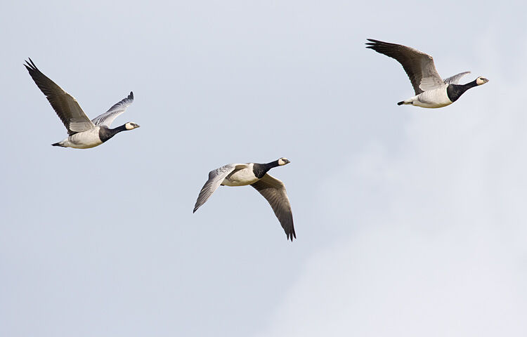 BARNACLE GEESE OCTOBER 2020