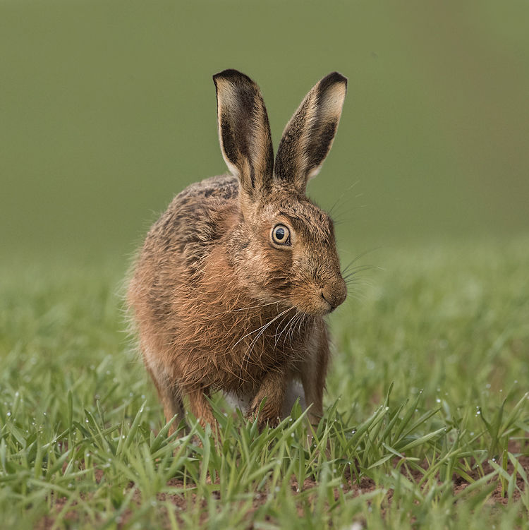 BROWN HARE APRIL 2019