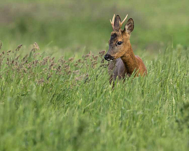 ROE BUCK JUNE 2017