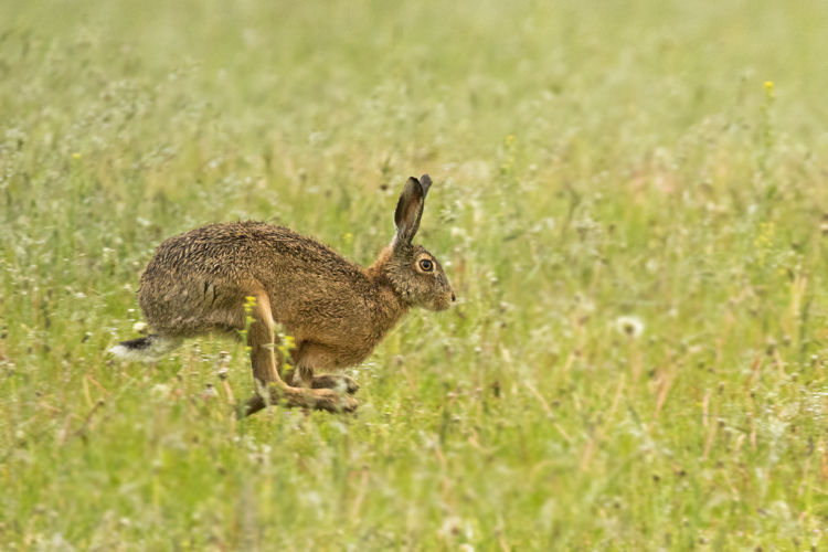 BROWN HARE JULY 2019