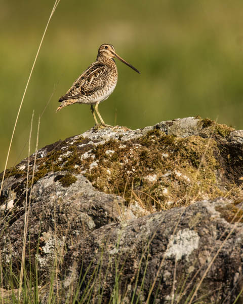 COMMON SNIPE JUNE 2018