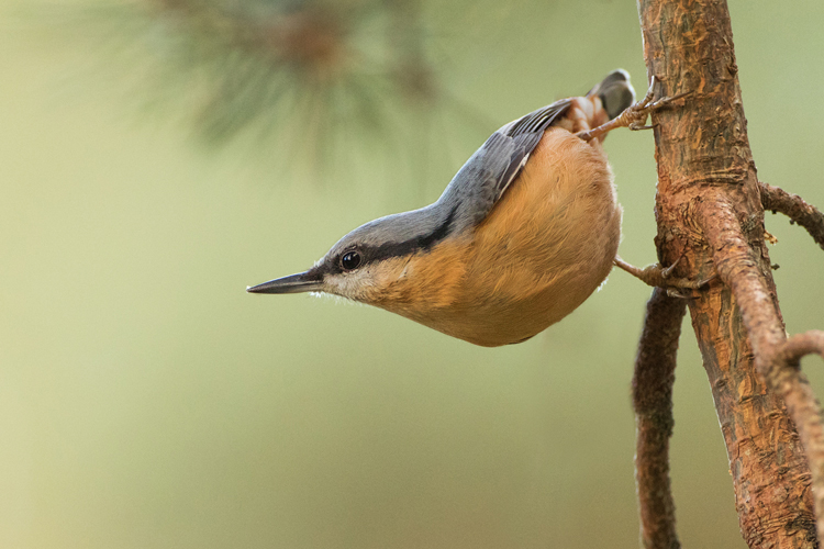 NUTHATCH OCTOBER 2017